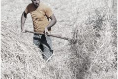 Battitura del grano